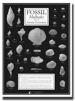 Photo shows our NEW Mollusk Fossils from the Astoria Formation - Poster - Black and White, 18 x 24 - $10.00.  This poster is now available featuring 34 high quality black and white photos of some of the more common mollusks that can be found in the Astoria Formation (Miocene) along the Central Oregon Coast. It will also serve you well as a preview of your field trips to the Newport area, tidepooling for fossils and beachcombing, in conjunction with our educational kit for a fantastic Oregon fossils learning tool to be used by home schoolers as well as educators in the school system network.  In Stock for immediate shipping.  Buy it NOW and SAVE while supplies last!